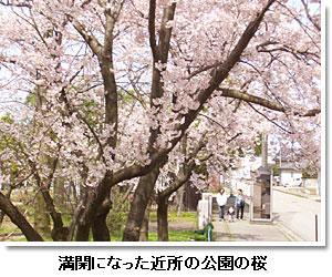満開になった近所の公園の桜